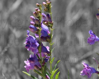 Bright Purple Beardstongue and Hayseed on Black & White Photograph Accented Gorgeous Brilliant Violet Wall Art