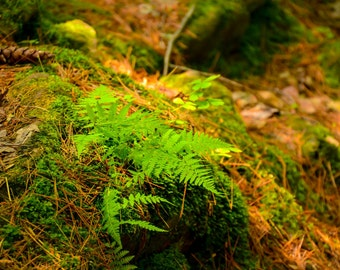 Ferns,peaceful forest,sunbeam on ferns,cool,Nature Photography,ferns,woodland,fresh,forest floor,mossy,nature home decor,forest green,zen