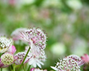 Astrantia flower, Nature photography, White Astrantia, Macro photography, Dreamy flower photo, Romantic home décor, Baby girl nursery