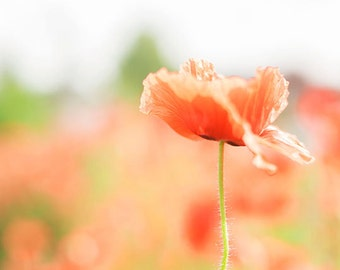 Flower Photography - Orange Poppies - Poppy Photography - Poppies - Spring - Flowers - Fine Art Photography Print - Orange Green Home Decor