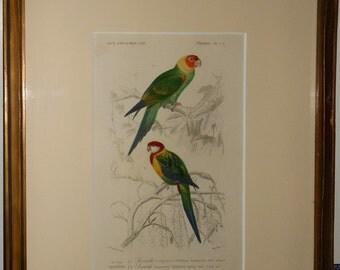 Vintage parrots charles d . orbigny color lithograph 1850