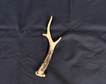 Natural Roe Antler Deer Antler, Small Deer Antler, Animal Antlers, Forest Finds, Natural Home Decor, Rustic Farmhouse Decor