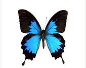 10% OFF SALE Large Papilio Ulysses AKA The Blue Mountain Butterfly A1 Specimen