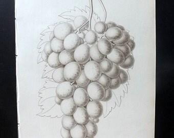 Pomologie de La France 1863 Botanical Fruit Print. Muscat d'Alexandrie. Grapes