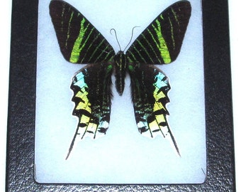 Real green peruvian day flying moth urania leilus framed butterfly insect