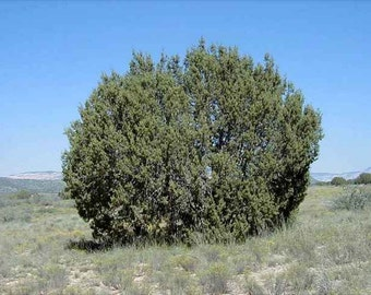 One-Seed Juniper Tree Seeds, Juniperus monosperma - 25 Seeds