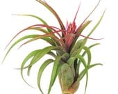 Large Air Plants - Streptophylla Air Plants - 30 Day Air Plant Guarantee - Exotic and Rare air plant - Air Plants for Sale - FAST SHIPPING