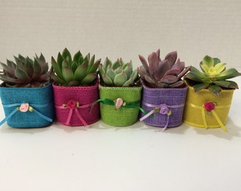 Succulent Plants. 70 Gorgeous Favors with Succulent Plants, Pots with Glam Ribbon, Ribbon Trim, and Rose Bud.