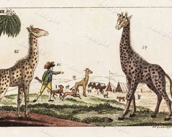 Giraffes 1817 Antique Original Hand colored Engraving  Of Animals -  Natural history-  Tobias Wilhelm Over 200+ Years old