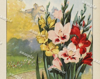 1900 Original lithograph of Gladiolus double sided - wall art- art decor- clip art- home decor- Antique- funa- flora- flowers - Botanical