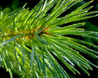 Pine needles 30grams\1,75oz