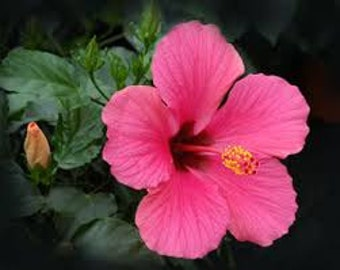 PINK HIBISCUS FLOWER Seeds 15 Fresh seed ready to plant in your garden