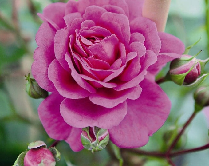 Starlet Beauty Mauve Rose Plant -  Fragrant Climbing Rose Bush Organic Grown Potted - Small Climber Own Root Rose Ships Now