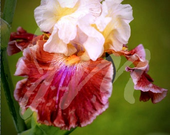 Set of 4 Bearded Iris Blank Anytime Greeting Cards Note Cards