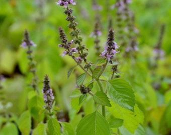 "Tulsi, Holy Basil Live Plant (Ocimum sanctum), 4"" Pot"