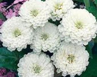 30+ Zinnia Oklahoma White Flower Seeds