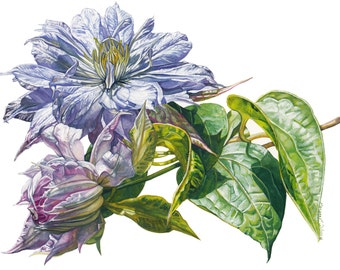 Colorful Clematis,  is a fine art giclee from my original watercolor