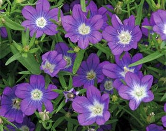 Legousia- Blue - 100 seeds