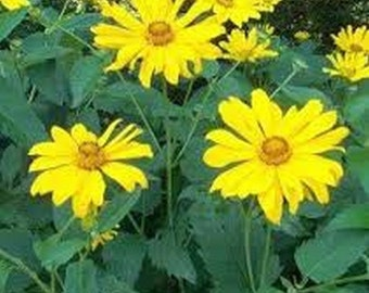 Heliopsis- Summer Sun- 50 Seeds