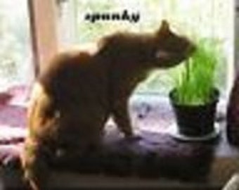 Organic Wheat Grass For You Or Your Cat * NON-GMO!! 500 Seeds