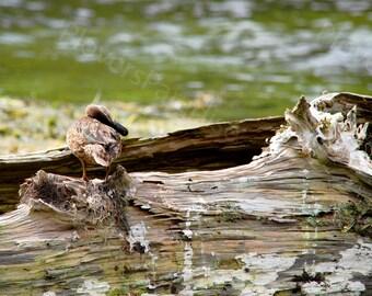 Duck Photograph // Female Blue-winged Teal // Florida Bird Photo