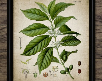 Vintage Coffee Plant Print - Coffee Plant Illustration - Coffee Plant Wall Art - Printable Art - Single Print #588 - INSTANT DOWNLOAD
