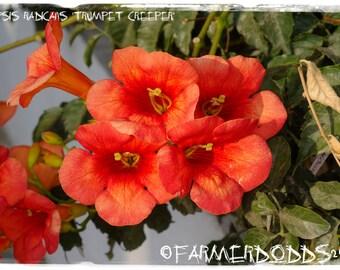Campsis radicans 'Trumpet Creeper'  [Prov. Crete, Greece] 25+ SEEDS