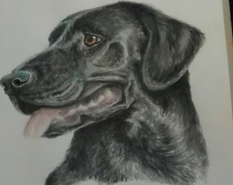 Black Labrador Pet Portrait
