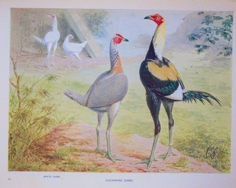 Antique Poultry Print, 1900s Edwardian Chromolithograph by Ludlow: Duckwing Game Bantams