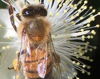 Flower Photo Art, Prints or Cards, with ice flower and honey bee II