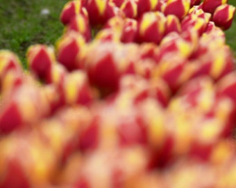 Red and Yellow Tulips, Skagit Valley, WA