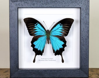 Mountain Blue Swallowtail in Box Frame (Papilio Ulysses) Real Mounted Butterfly