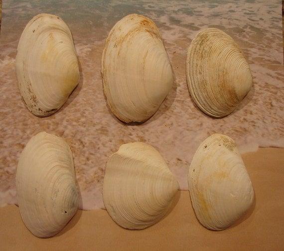 Seashells 6 large white clam sea shells 3 1 2 4 1 2 for Large seashells for crafts