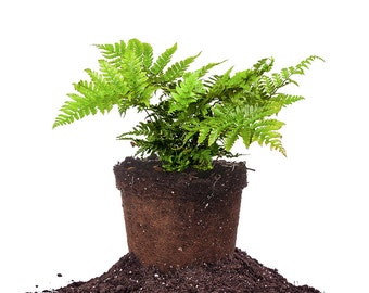 Dryopteris Autumn Fern, 1 gal.