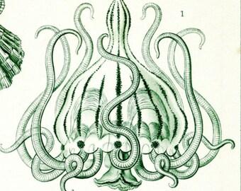 Medusa Jellyfish, Jellyfish Art, Medusa Art, Jellyfish Medusa, Haeckel Jellyfish, Haeckel Art, Jellyfish Haeckel, Art Medusa, Art Jellyfish