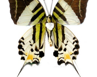 Supplies for your artworks - dried insects - : 5 x   graphium androcles, papilio ,UNMOUNTED A1 quality, FREE SHIPPING
