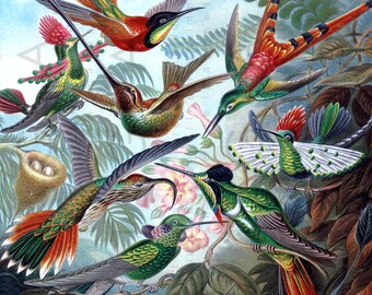 "SPECTACULAR HUMMINGBIRDS Haeckel Illustration. Vintage Birds Chart. Digital Hummingbird Download. Exotic Birds Print 15""x10"""