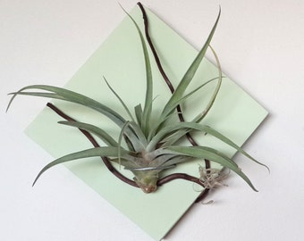 "6"" x 6"" Wall air plant holder with branch detail"