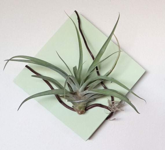 6 X 6 Wall Air Plant Holder With Branch Detail