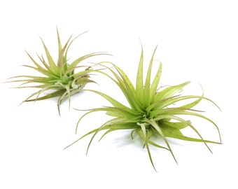 Tillandsia Brachycaulos Air Plant // Hello Tilly Airplant
