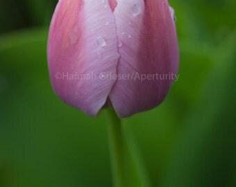 Raindrops on Pink Tulip: Fine Art Photography