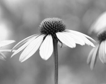 echinacea, cornflower, black and white, botanical art print, nature photography, flower photography, flowers, flower home decor, 8x10