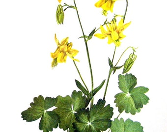 Yellow Columbine, Shortspur Columbine - Flower Print - 1950's Vintage Botanical Illustration - Vintage Book Page - 2 Sided - 12 x 8