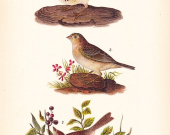 1890 Audubon Bird Print - Sparrows - Vintage Antique Book Plate for Natural Science or History Lover Great for Framing 100 Years Old