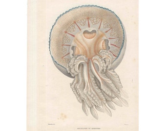 1836 ANTIQUE JELLYFISH ENGRAVING original antique sea life ocean print rare and elegant medusa