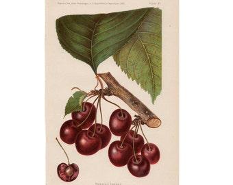 1893 CHERRIES FRUIT LITHOGRAPH original antique botanical cherry print