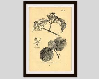 "Antique Botanical Illustration, Beige, Neutral Color Decor, Wildflower Art, Rustic Flower Print, 5"" x 7.75"", Vintage Wall Art,  Dogwood (31)"