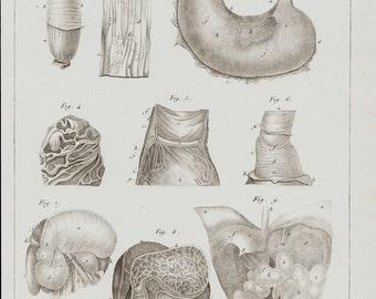 1840 Antique print of anatomy, digestive, gastric system, digestive, gastric system organs, intestine, stomach, original 176 years old