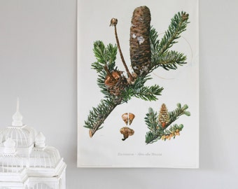 Vintage Dutch Botanical Print, Double Sided Silver Fir Tree Screenprint