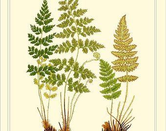 BRITTLE BLADDER FERN and Rusty Woodsia   Botanical digital download 1901 Lindman